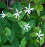 Gruppe Bowman's-Wurzel-Blumen stockfotografie