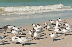 Gruppe Brandseeschwalben, die einen brausenden Wind auf einem tropischen Strand gegenüberstellen Stockbilder