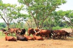 Gruppe braune Watusi-Kühe Stockfoto