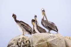 Gruppe Brown-Pelikane lizenzfreie stockbilder
