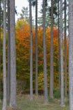Gruppe Buchenbäume unter Fichten lizenzfreie stockfotos