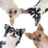 Gruppe Chihuahua Stockbilder