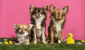 Gruppe Chihuahua, die in einer Ostern-Landschaft sitzen, Lizenzfreie Stockfotografie