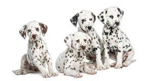 Gruppe dalmatinische Welpen, die, lokalisiert sitzen Lizenzfreie Stockbilder