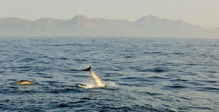 Gruppe Delphine, schwimmend im Ozean und jagen für Fische Stockfotografie