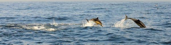 Gruppe Delphine, schwimmend im Ozean und jagen für Fische Lizenzfreie Stockfotografie