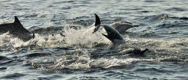 Gruppe Delphine, schwimmend im Ozean und jagen für Fische Lizenzfreie Stockbilder