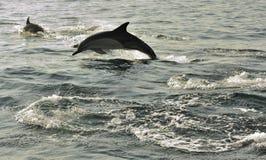 Gruppe Delphine, schwimmend im Ozean und jagen für Fische Stockbild
