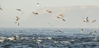 Gruppe Delphine, schwimmend im Ozean und jagen für Fische Die springenden Delphine kommt vom Wasser auf Das langschnabelige Commo Stockbild