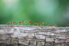 Gruppe der Ameise Stockbild