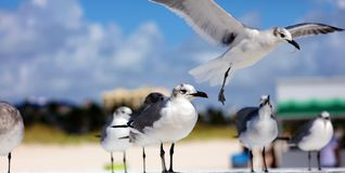 Gruppe der Aztekenmöwe-Seemöwe in Süd-Florida Miami Beach stockbild