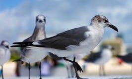 Gruppe der Aztekenmöwe-Seemöwe in Süd-Florida Miami Beach lizenzfreies stockfoto