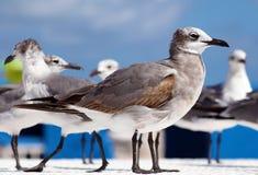 Gruppe der Aztekenmöwe-Seemöwe in Süd-Florida Miami Beach lizenzfreies stockbild
