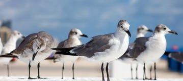 Gruppe der Aztekenmöwe-Seemöwe in Süd-Florida Miami Beach lizenzfreie stockfotos
