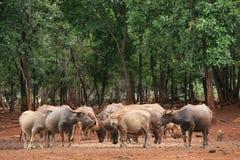 Gruppe der Büffel im Wald Stockbilder