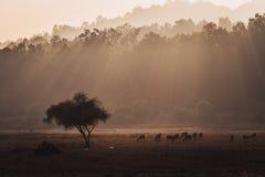 Gruppe der beschmutzten Rotwild Achsenachse im natürlichen Lebensraum stockfotos