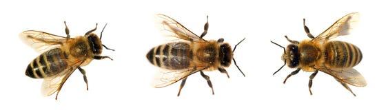 Gruppe der Biene oder der Honigbiene auf weißem Hintergrund, Honigbienen lizenzfreie stockfotografie