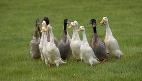 Gruppe der Enten Lizenzfreies Stockfoto