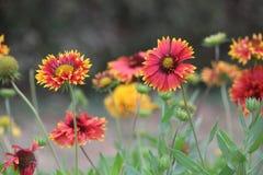 Gruppe der Gänseblümchenblume im Garten Lizenzfreie Stockfotos