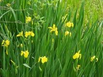 "Gruppe der gelber Flagge Irises †""Iris pseudacorus Stockbild"