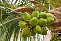 Gruppe der jungen Kokosnuss stockfoto