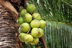 Gruppe der jungen Kokosnuss auf dem Baum Stockbilder