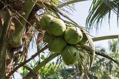 Gruppe der Kokosnuss Lizenzfreie Stockfotos
