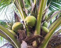 Gruppe der Kokosnuss auf dem Kokosnuss plam Lizenzfreie Stockfotografie