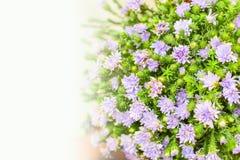 Gruppe der purpurroten Blume Stockbilder
