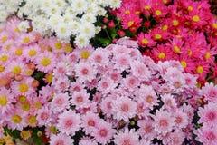Gruppe der rosa Chrysanthemenblume Lizenzfreie Stockfotografie