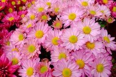 Gruppe der rosa Chrysanthemenblume Stockfotos