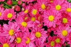 Gruppe der rosa Chrysanthemenblume Lizenzfreies Stockfoto