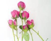 Gruppe der Rosarose auf weißem Hintergrund Stockbild