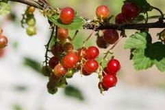 Gruppe der roten Johannisbeere auf einer Niederlassung in einem Sommergarten Lizenzfreie Stockfotos