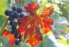 Gruppe der roten Traube und ein rotes Weinblatt im Herbst Stockbild