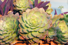 Gruppe der Succulents Aeonium-Kiwi Stockfoto