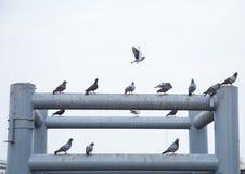 Gruppe der Taube Stockfoto