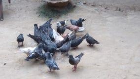 Gruppe der Taube Lizenzfreie Stockfotos