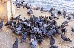 Gruppe der Taube essen das Lebensmittel neben dem Fluss Stockbilder