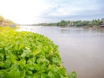 Gruppe der Wasserhyazinthe schwimmend in den Fluss traditionelles Haupt-Thailand Lizenzfreie Stockfotografie