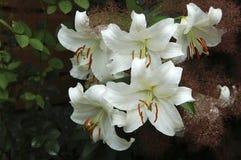 Gruppe der weißen Lilie - Nahaufnahme Lizenzfreie Stockfotos
