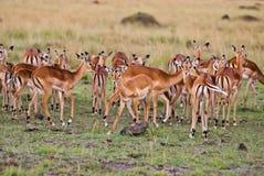 Gruppe der wilden Gazelle Stockbild