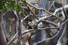 Gruppe des Affen im Zoo, der auf einem Baum und einem Spielen sitzt Lizenzfreie Stockfotos