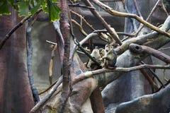 Gruppe des Affen im Zoo, der auf einem Baum und einem Spielen sitzt Stockfotos