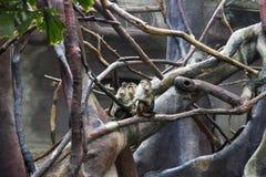 Gruppe des Affen im Zoo, der auf einem Baum und einem Spielen sitzt Stockbild