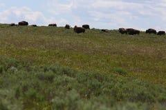 Gruppe des Bisons auf einem Berg Stockfoto