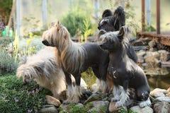 Gruppe des Chinese Crested-Hundes im Garten Stockfotos