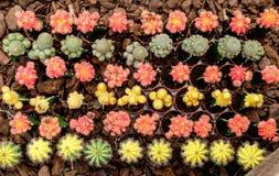 Gruppe des dekorativen Kaktus Stockfotografie