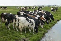 Gruppe des Essens von Kühen in der Wiese Lizenzfreie Stockfotografie