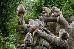 Gruppe des formosischen Makakenaffesitzens Stockfotos